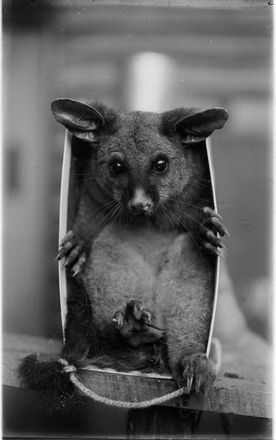 A possum with its tail tied to its feet stares boldly out from within a paper bag