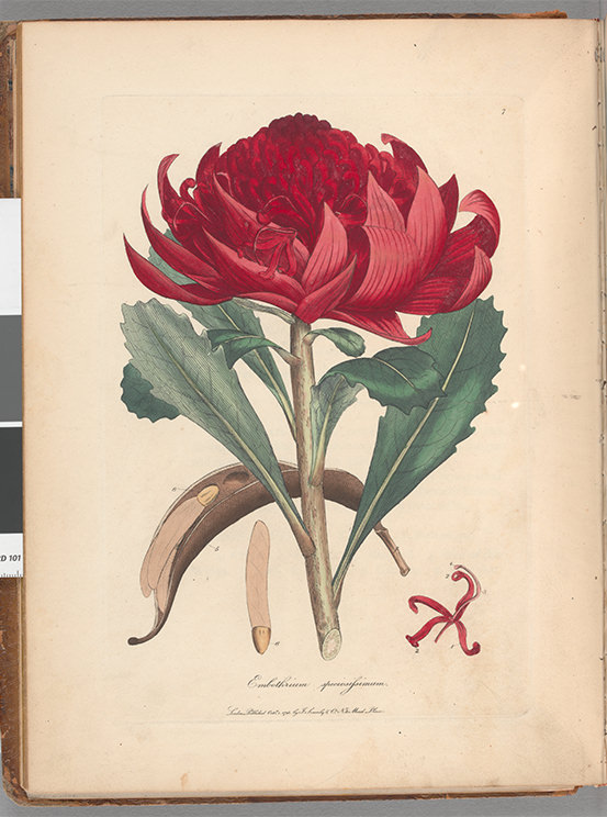 Botanical illustration of a telopea flower including its reproductive organs, leaves, seed pod and seed