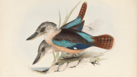 Drawing of two blue and brown birds