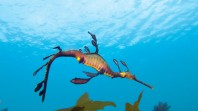 Photo of a seadragon swimming in the water