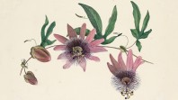 Illustration of some passionfruit flowers