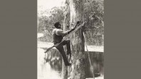 Lake Tyers man cutting a bark canoe, 1913–16