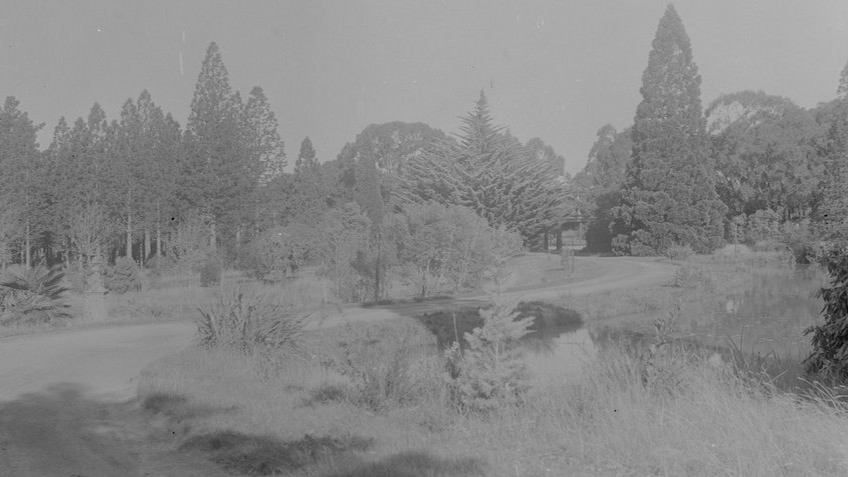 B&W photo of a walking path winding through pines, cypresses and tall trees