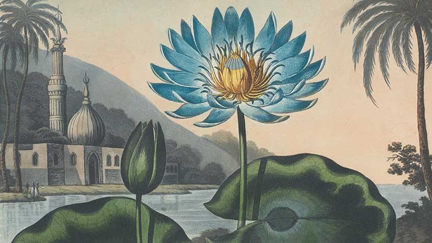 Detail from Robert Thornton's Temple of Flora, printed by T Bensley, London, 180