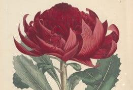 Embothrium speciosifsimum (Telopea speciosissima), 1793