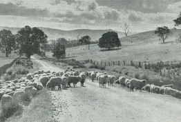 Black and white photo of large herd of sheep being driven along a rural road