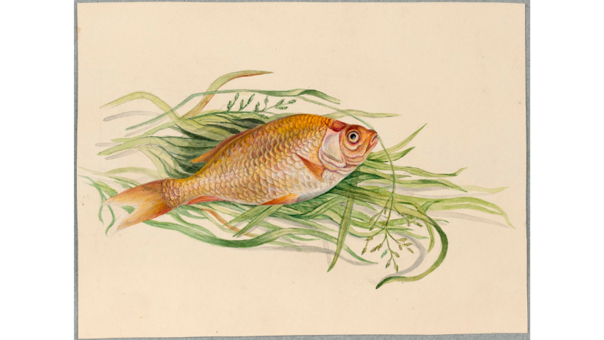 Drawing of a goldfish