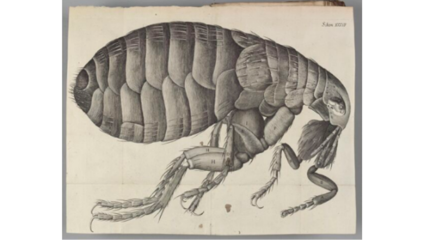 Drawing of a flea