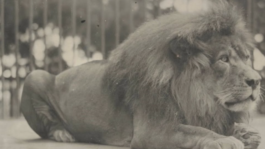 Old photograph of a lion
