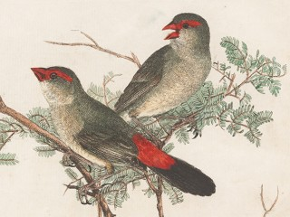 Colour plate from Birds of New South Wales by John William Lewin, featuring a pair of red-beaked and winged common crossbeaks
